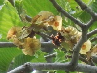 オヒョウfruit.JPG